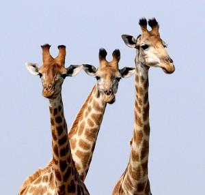 new girafes